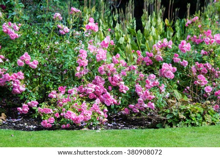 Lovely pink climbing roses