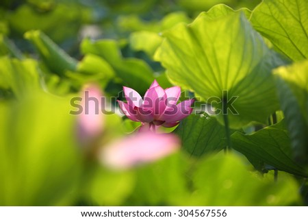 Lovely pink lotus flowers blooming among lush leaves in a pond under bright sunshine (with blurry effect) - stock photo
