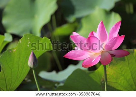 Lovely pink water lily blooming among lush leaves in a lotus pond under bright summer sunshine ~ Close-up of a lotus bud and a waterlily flower in full bloom ( vivid version ) - stock photo