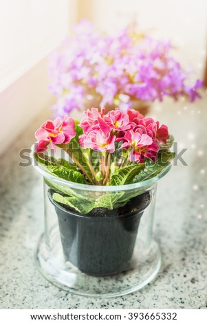Lovely primrose flowers in pot on windowsill. Home decoration