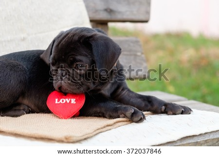 Lovely pug dog. (The black puppy pug dog with red heart in lovely time.) - stock photo