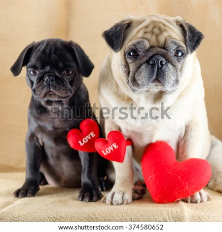 Lovely pug dog. (The fawn pug dog sitting in front black puppy pug dog with red heart in lovely time.) - stock photo