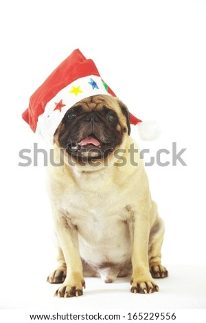 Lovely pug dog with red hat Isolated white background