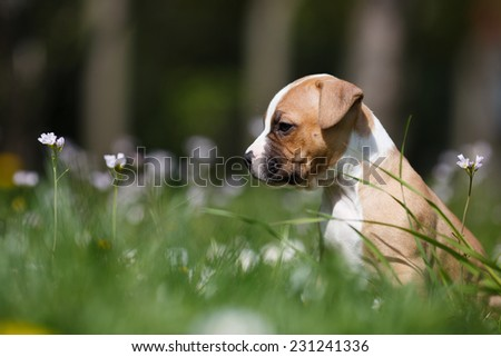 Lovely puppy exploring hunting ground, American staffordshire terrier, Dog portrait, Small doggie on a garden  - stock photo
