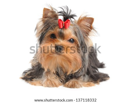 Lovely puppy of the Yorkshire Terrier isolated on white - stock photo