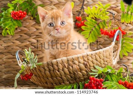 Lovely red British kitten looking out from under a basket in the autumn - stock photo