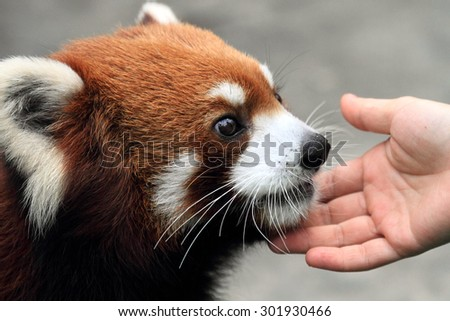 lovely red panda enjoying gentle human touch - stock photo