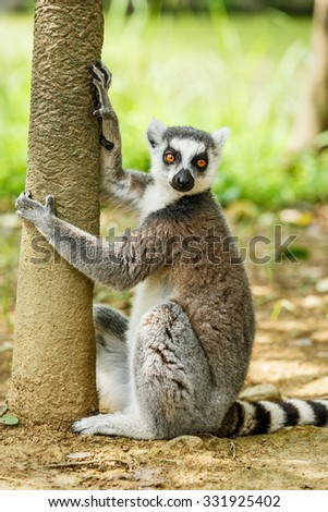 Lovely ring-tailed lemur close up - stock photo