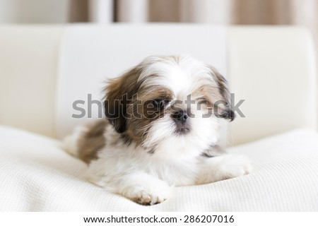 Lovely sad shih tzu puppy - close picture - stock photo