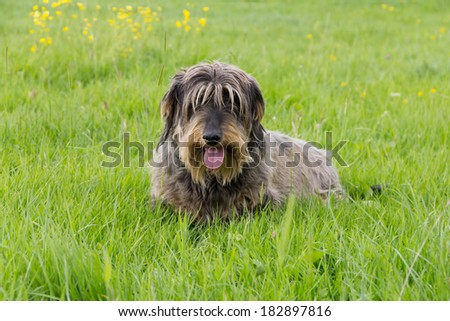 Lovely shaggy faced dachshund sits in grass on sunny day. - stock photo