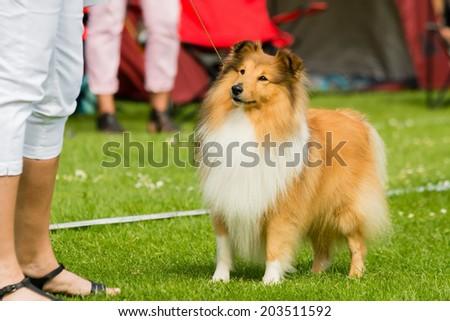 Lovely Shetland sheepdog looking at handler waiting for treats. - stock photo