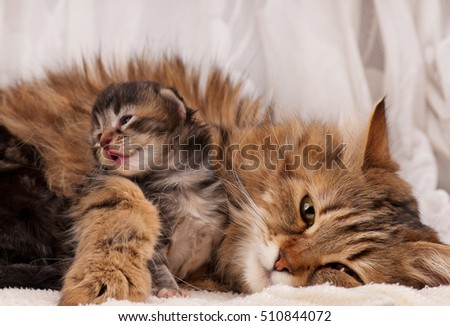 Lovely siberian cat with cute little kitten over white background