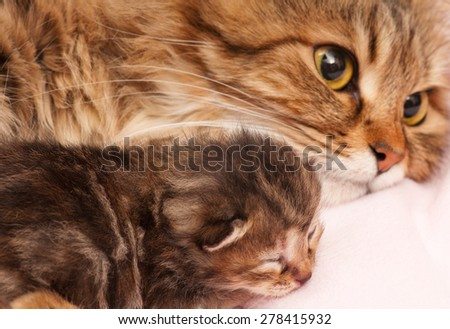 Lovely siberian cat with newborn kitten with focus on the kitten - stock photo