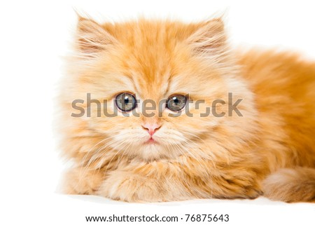 Lovely small red persian kitten on isolated white background - stock photo