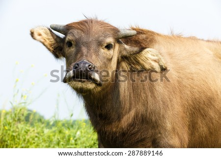 Lovely small  water buffalo close up