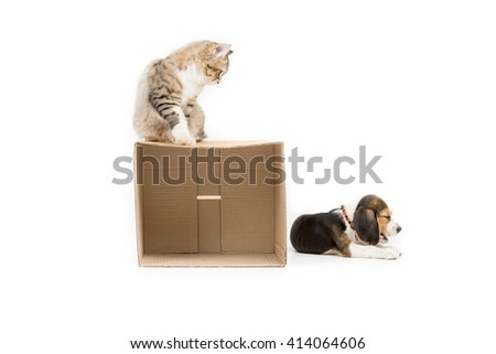 Lovely tabby Persian cat playing  hide and seek with beagle puppy on isolated background - stock photo