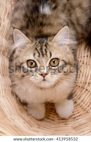 Lovely tabby persian cat playing in the basket