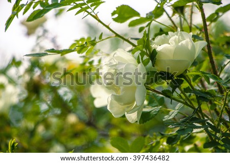 Lovely white bush roses. Ornamental white flowers on bright sun. Tender roses in garden.Beautiful roses with green leaves and thorns.Two buds of flowers of a white dog-rose close up. Summer sunny day. - stock photo