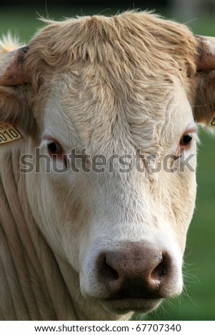 lovely white cow