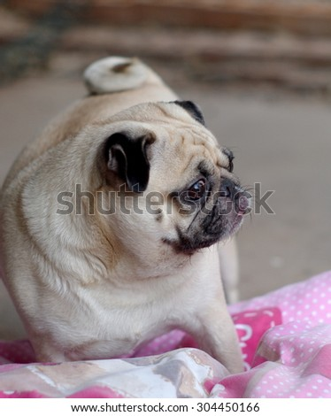 lovely white fat cute pug dog face close up playing on a big soft pinky pillow outdoor making funny face under natural sunlight and country home surrounding bokeh background - stock photo