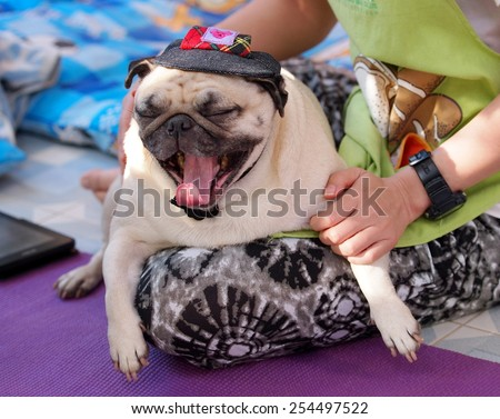lovely white fat cute pug dog face close up wearing dark blue dog hat cap playing with an unidentified young girl outdoor making sad face under natural sunlight. - stock photo