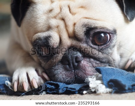 lovely white fat cute pug face head shot close up laying on an old blue synthetic cloth mat outdoor making sad face under natural sunlight - stock photo