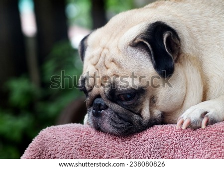 lovely white fat cute pug face head shot close up laying on an old pink synthetic cloth mat outdoor making sad face under natural sunlight