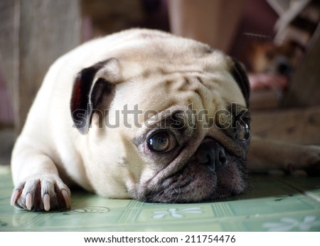 lovely white fat cute pug face head shot close up lying on the green synthetic mat floor semi outdoor making sad face under natural sunlight and country home surrounding bokeh background - stock photo
