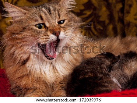 Lovely yawning siberian cat with newborn kittens close-up - stock photo