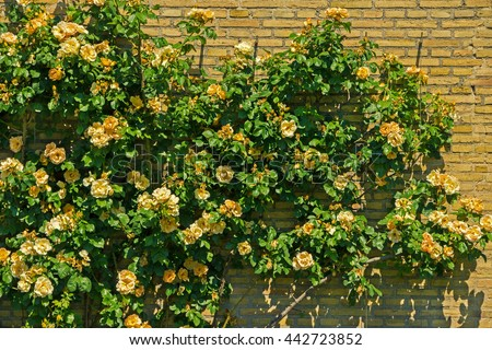 Lovely yellow climbing roses. Ornamental roses against brick wall. Retro yellow roses in garden. Big bush of beautiful bright small roses with green leaves. Floral background with lot of little roses. - stock photo