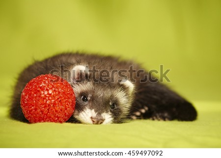 Lovely young ferret portrait with red toy in studio - stock photo