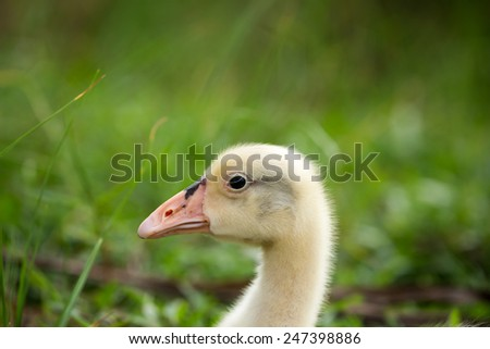 Lovely young swan in the garden. - stock photo