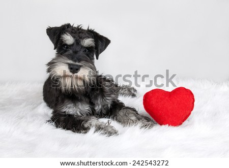 lover Valentine's Day schnauzer puppy dog with a red heart - stock photo