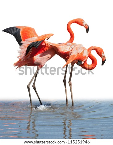 Loving couple of pink flamingos staying in the water isolated on white - stock photo