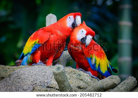 Loving Red Macaws - stock photo