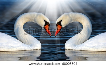 Loving swans - stock photo