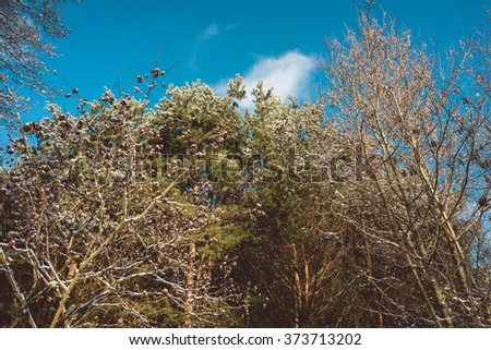 Low Angle Nature Scenic View of Trees in Mixed Coniferous and Deciduous Forest on Sunny Day with Blue Sky and White Clouds - stock photo