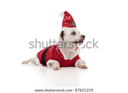Low angle of a small white maltese wearing a red santa coat and hat.  Dog is looking sideways at perhaps your message.  White background. - stock photo