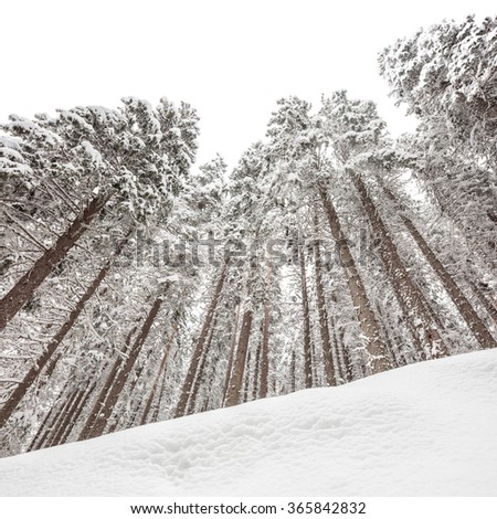 Low angle shot of snow covered pine trees in winter shot with tilt and shift lens - stock photo