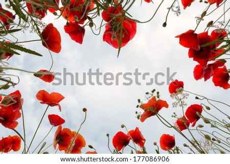 Low angle view into poppies and other wildflowers in Tuscany - stock photo