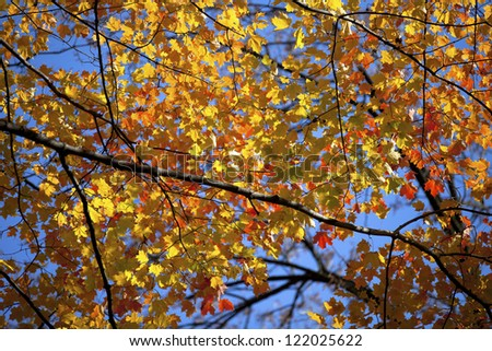 Low angle view of a autumn tree.