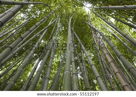 Low angle view of a bamboo forest - stock photo