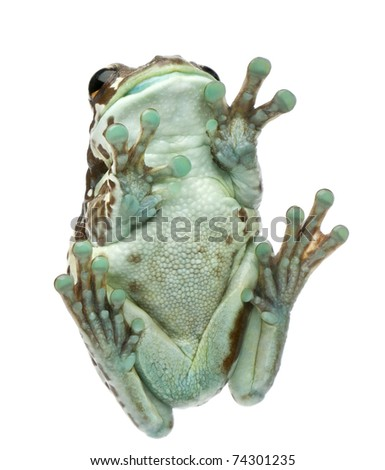 Low angle view of Amazon Milk Frog, Trachycephalus resinifictrix, in front of white background - stock photo