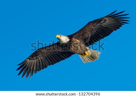 low angle view of american bald eagle soaring against blue sky - stock photo