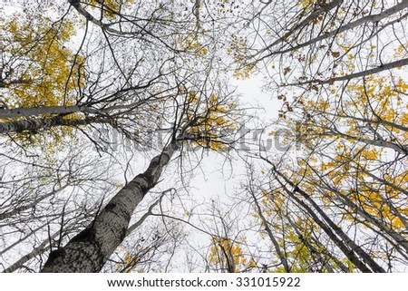 Low angle view of aspen trees with yellow leaves in autumn - stock photo