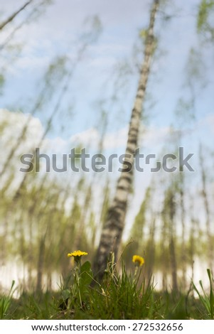 Low angle view of dandelions in scandinavian birch tree forest in spring, with blue sky - stock photo
