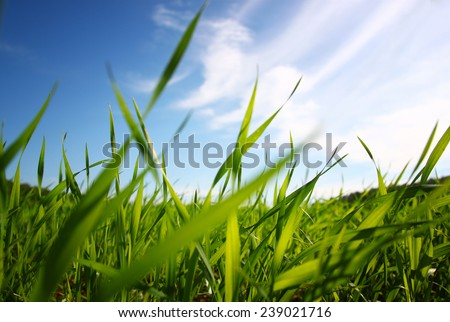 low angle view  of fresh grass against blue sky with clouds. freedom and renewal concept - stock photo
