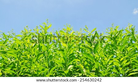 Low Angle View of Lush Green Crops Growing Towards a Vivid Blue Sky - stock photo
