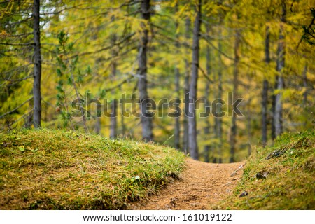 Low depth of field view of a footpath with colored larch forest in the background - stock photo