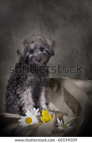 Low-key portrait of a 3 month old Schnoodle (Schnauzer/Poodle) puppy. - stock photo